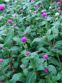 真夏でも元気に咲くという千日紅を育てて、花を楽しむ 8/5 全体 彩りよく咲き始めました③