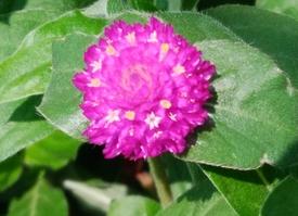 真夏でも元気に咲くという千日紅を育てて、花を楽しむ 花の中に小さな花が咲き