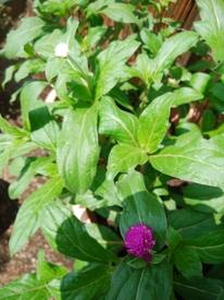 真夏でも元気に咲くという千日紅を育てて、花を楽しむ 12:45現在 気温40℃湿度50%