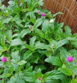 真夏でも元気に咲くという千日紅を育てて、花を楽しむ(その1) 草丈が50センチに