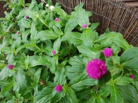 真夏でも元気に咲くという千日紅を育てて、花を楽しむ 草丈が50センチに