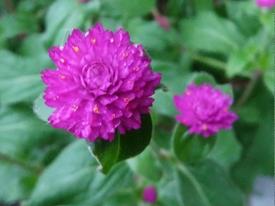 真夏でも元気に咲くという千日紅を育てて、花を楽しむ(その1) センニチコウ初花①