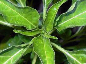 ピリピリ ― ブラジル発ポルトガル経由アフリカ着のトウガラシ 花芽を確認してから定植(65日目)