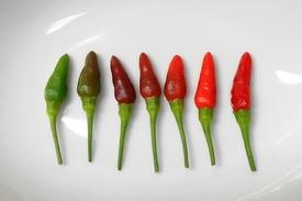 ピリピリ ― ブラジル発ポルトガル経由アフリカ着のトウガラシ ピリピリの色変化(161日目)