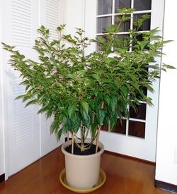 ピリピリ ― ブラジル発ポルトガル経由アフリカ着のトウガラシ 小さな木になりました(188日目)