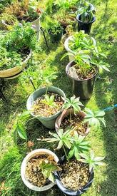クリスマスローズ🥀土替え完了 古い鉢を並べています✨