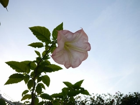 エンジェルストランペット(エンゼルトランペット・チョウセンアサガオ) 秋空と遅咲きの開花