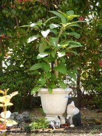 エンジェルストランペット(エンゼルトランペット・チョウセンアサガオ) 葉っぱがいっぱい♪