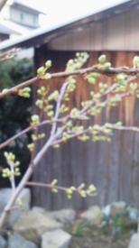 スモモを初めて育てています。☆ 大石早生の花と葉っぱの新芽です。