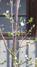 スモモを初めて育てています。☆ 開花宣言