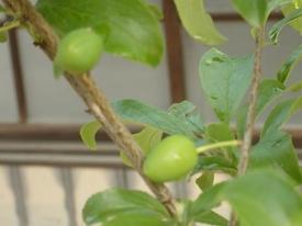 スモモを初めて育てています。☆ 摘果しました。