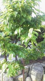 スモモを初めて育てています。☆ 現在の大石の樹形