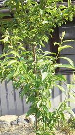 スモモを初めて育てています。☆ 現在のサンタローザの樹形