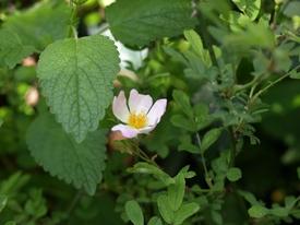 薔薇の実生の実生 花が咲いた