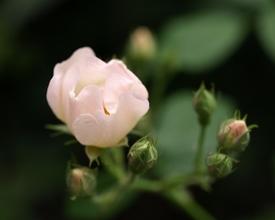 薔薇の実生の実生 2017年、咲きはじめ