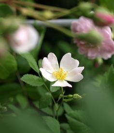 薔薇の実生の実生 花開いてくると
