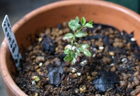 薔薇の実生の実生 4号鉢に鉢増し