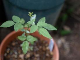 薔薇の実生の実生 きれいな5枚葉が出始める
