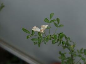 薔薇の実生の実生 花が咲いちゃっていた