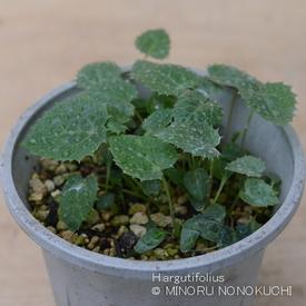 H.アーグチフォリウスの種子からのそだレポ 発芽から2ヶ月経ちました!