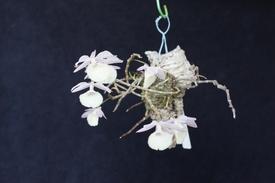 ピエラルディーをコルク板に付けて育てる。 今年も開花しました。