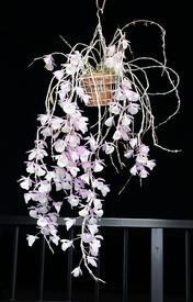 ピエラルディーをコルク板に付けて育てる。 親株は更に見事な開花です。