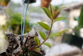 ピエラルディーをコルク板に付けて育てる。 新芽が順調に伸びてきました