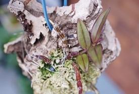 ピエラルディーをコルク板に付けて育てる。 新芽が出ました