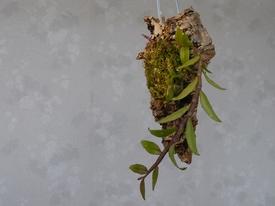 ピエラルディーをコルク板に付けて育てる。 新芽が完成しました
