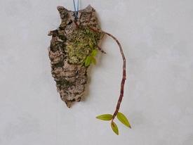 ピエラルディーをコルク板に付けて育てる。 落葉が始まりました