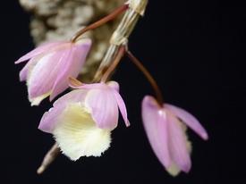 ピエラルディーをコルク板に付けて育てる。 開花しました