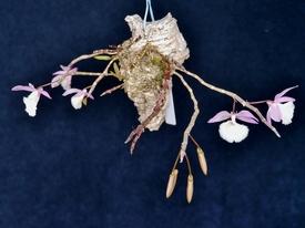 ピエラルディーをコルク板に付けて育てる。 今年も咲きました
