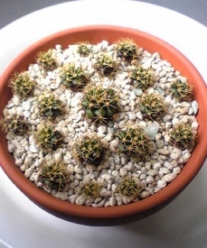 サボテン栽培 増やし方〜子吹き〜植え付け
