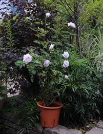 大苗から育てるルシファー 15.07.23 二番花です。