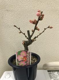 緋の御旗 祝桜 購入
