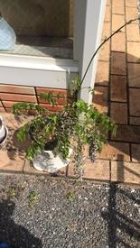 初めてのフジ(藤)の栽培 新芽はあるけど