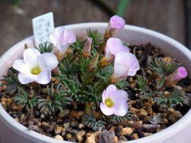 パルマピンクを花いっぱいに咲かせたい 2012年の花
