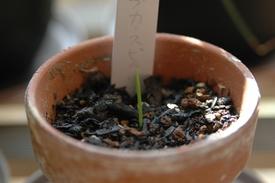 ナンジャコレを育てる 芽が出てきました。