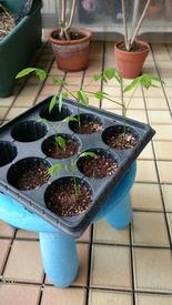 藤の実生栽培に挑戦!果たして開花まで到達できるのでしょうか!? 発芽から一週間