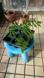 藤の実生栽培に挑戦!果たして開花まで到達できるのでしょうか!? 順調に成長