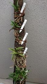 富貴蘭の栽培 ヘゴ棒付け