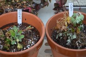 ダルマギクを育てる 2月9日植え替え