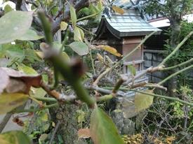 庭の管理 花芽が見えています。11.29