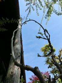 念願の9尺藤 発芽開始