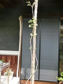 念願の9尺藤 幹づくりと枝づくり