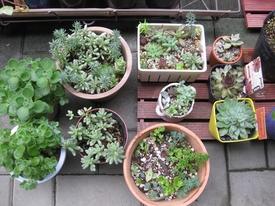 多肉植物のリースを作って、育てよう! これから寄せ植えます