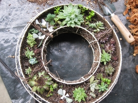 多肉植物のリースを作って、育てよう! だいたい植えこむ位置を決めて