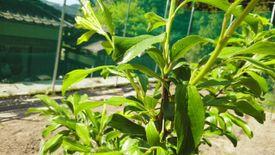 秋姫収穫前 受粉作業後の若い実