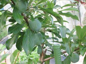 秋姫収穫前 6月中旬の秋姫