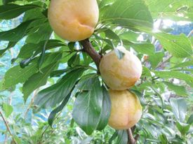 秋姫収穫前 8月1日まだ硬いです